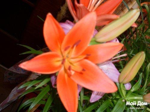 У меня цветут лилии domcreative.ru